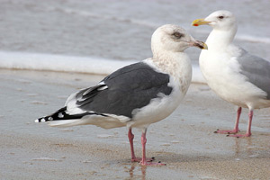 Rarity finders: The Slaty-backed Gull at Killybegs